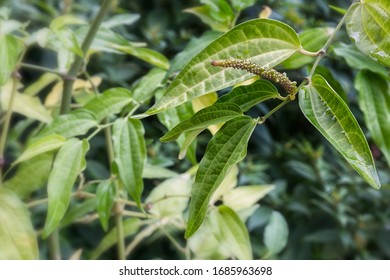 Black pepper (Piper nigrum), plant with flower and leaf