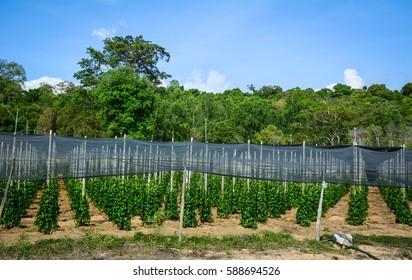 Black pepper (Piper nigrum) vines at the plantation in Phu Quoc island, Vietnam.
