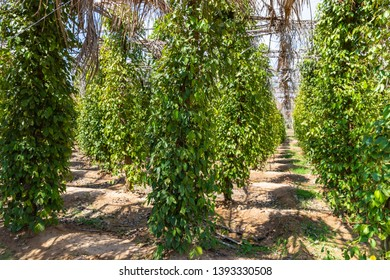 Black pepper plantation near Kampot / Kep, Cambodia. Kampot Pepper has a status of Protected Geographical Indication