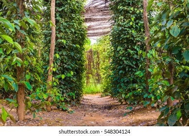 Black pepper plants on an organic pepper farm Kampot, Cambodia. On the plantation, wooden stakes serve as tree trunks the vine needs to climb, a shed made with dried plant defends leaves from sunbeams
