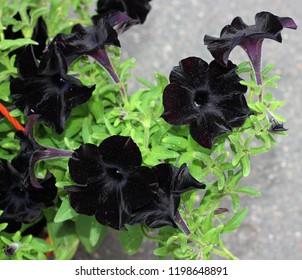 black petunia surfinia