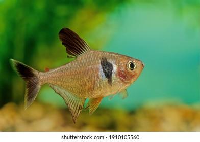 The black phantom tetra (Hyphessobrycon megalopterus), or simply phantom tetra, is a small freshwater fish of the characin family (Characidae) of order Characiformes.