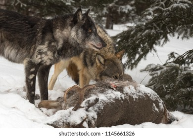 Black Phase (Canis lupus) and Grey Wolf Look Right Over White-Tail Deer - captive animals