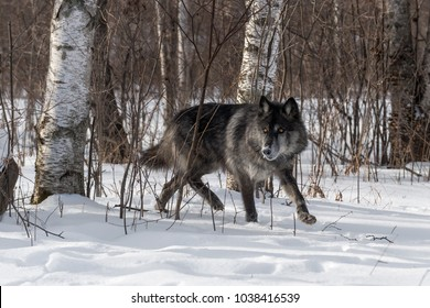 black-phase-grey-wolf-canis-260nw-103841