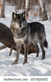Black Phase Grey Wolf (Canis lupus) Stands in Front of Log - captive animal