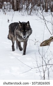 Black Phase Grey Wolf (Canis lupus) Walks Forward - captive animal