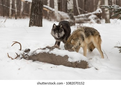 Black Phase Grey Wolf (Canis lupus) Looks Up From White-Tail Buck Carcass - captive animals