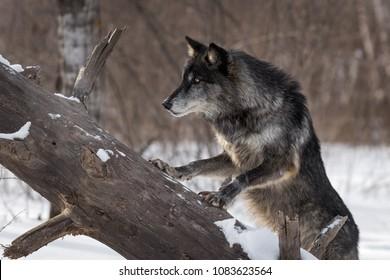 Black Phase Grey Wolf (Canis lupus) Paws Up on Log - captive animal