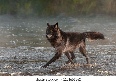 Black Phase Grey Wolf (Canis lupus) Trots Left in River - captive animal