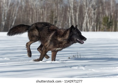 Black Phase Grey Wolf (Canis lupus) Runs Right in Snowy Field - captive animal