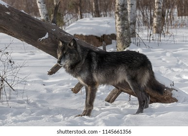 Black Phase Grey Wolf (Canis lupus) Stands in Front of Downed Tree - captive animal