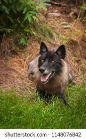 Black Phase Grey Wolf (Canis lupus) - captive animal