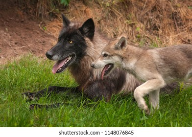 Black Phase Grey Wolf (Canis lupus) and Pup - captive animals
