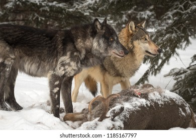 Black Phase and Grey Wolf (Canis lupus) Look Up Right Over Deer Carcass - captive animals