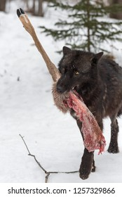 Black Phase Grey Wolf (Canis lupus) Steps Forward With White-Tail Deer Leg Winter - captive animal
