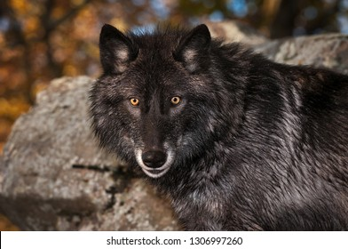 Black Phase Grey Wolf (Canis lupus) Looks Out Autumn - captive animal