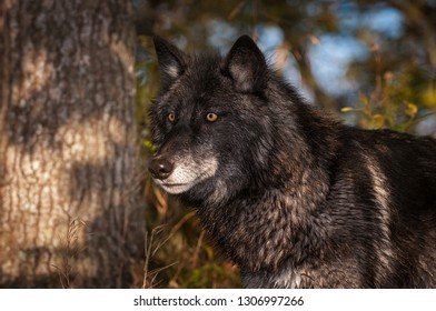 Black Phase Grey Wolf (Canis lupus) Stands Looking Left Autumn - captive animal