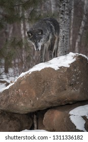 Black Phase Grey Wolf (Canis lupus) Looks Down Off Rock Pile Winter - captive animal