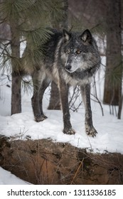 Black Phase Grey Wolf (Canis lupus) Stands on Rock Paw Forward Winter - captive animal