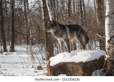 Black Phase Grey Wolf (Canis lupus) Stands Atop Snowy Rock Winter - captive animal