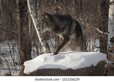 Black Phase Grey Wolf (Canis lupus) Steps Up on Rock Winter - captive animal