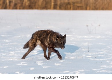 Black Phase Grey Wolf (Canis lupus) Stalks Right Through Snowy Field Winter - captive animal