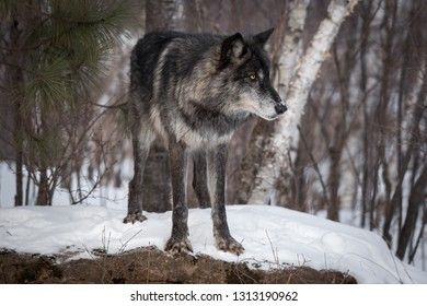 Black Phase Grey Wolf (Canis lupus) Stands on Rock Looking Right Winter - captive animal