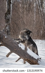Black Phase Grey Wolf (Canis lupus) Looks Down Fallen Tree Winter - captive animal