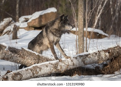 Black Phase Grey Wolf (Canis lupus) Straddles Logs Winter - captive animal