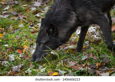 Black Phase Grey Wolf (Canis lupus) Nose to Ground Autumn - captive animal