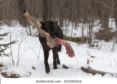 Black Phase Grey Wolf (Canis lupus) Steps Forward With Deer Leg Winter - captive animal