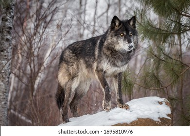 Black Phase Gray Wolf (Canis lupus) steht auf Rock Paw Up Winter - in Gefangenschaft gehaltenes Tier