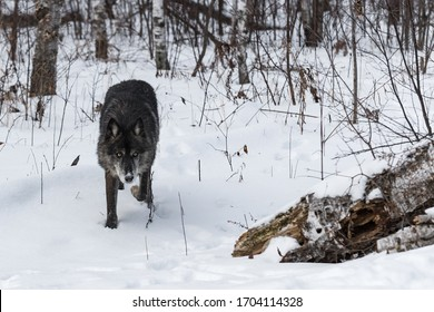 Black Phase Grey Wolf (Canis lupus) Stalks Forward From Forest Winter - captive animal