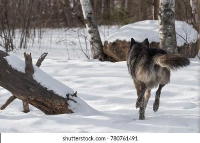 Black Phase Grey Wolf (Canis lupus) Runs Away - captive animal