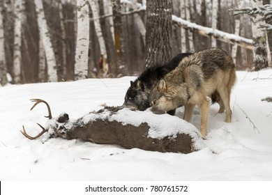 Black Phase Grey Wolf (Canis lupus) and Another Feed Off Deer Carcass - captive animals