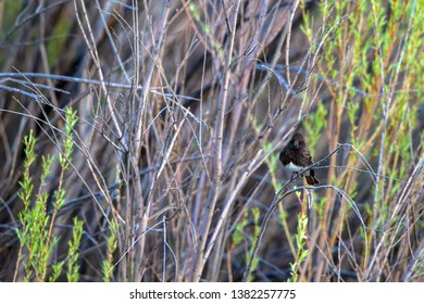 Black Phoebe in the marsh at Bosque del Apache National Wildlife Refuge in New Mexico