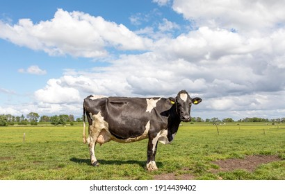 Black pied cow, friesian holstein, in the Netherlands, standing on grass in a field, a green pasture, yellow ear tags and a blue sky.