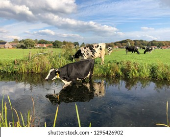 Black pied cow stands in a creek, drinking, reflection of the cow in the water, more cows at the background in a dutch landscape.