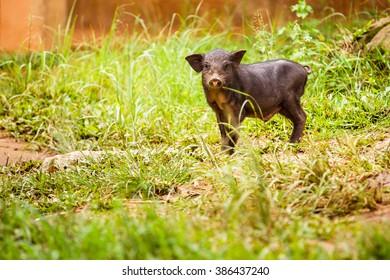 Black Pig in the backyard.