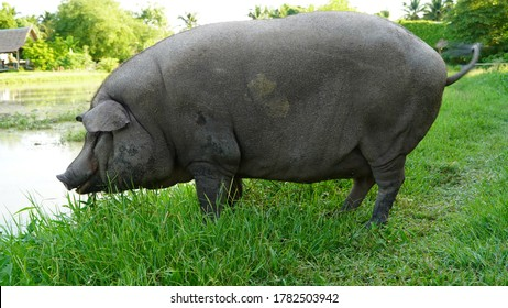 Black pig eating grass by the rice field