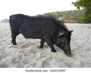 black pig on a beach