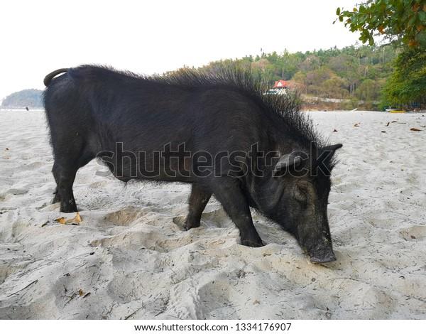 black pig on a beach