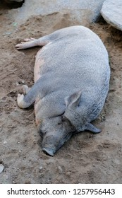 Black pig sleeping on the ground in open zoo.