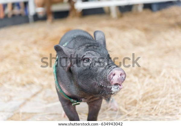 Black pig with spit walking toward to camera in farm and fence
