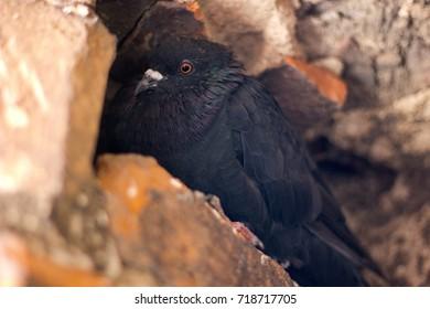 black pigeon on the stone
