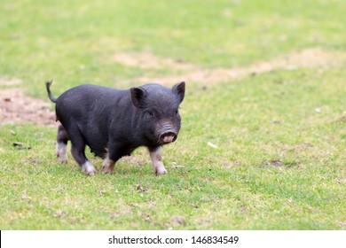 black piglet (running, green meadow in summer time)