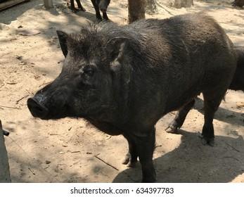 Black pigs boar in the backyard
