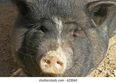 black pig's face