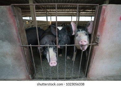 Black pigs look hungry.