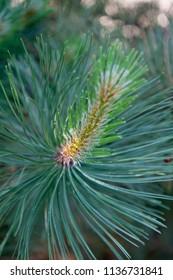 The black pine tree